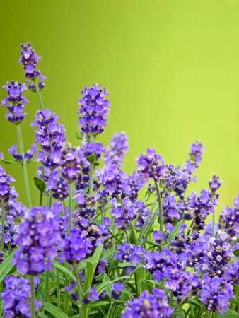 lavandula angustifolia: lavender with green background and copy space