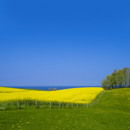 rape: beautiful rape field and the baltic sea in the background