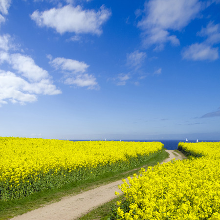 way to the sea leading through a canola field photo