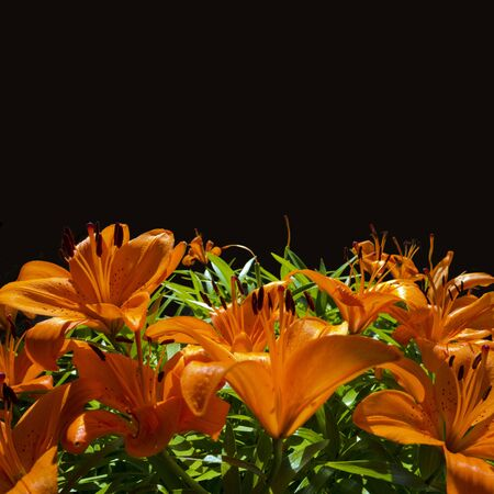 orange lily: bouquet of fresh orange lilies with black background