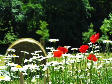 blooming marguerite, red poppy and hay role in the background