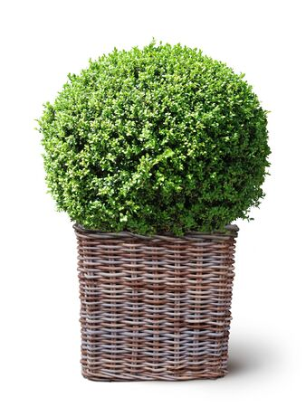 box plant in wickerwork basket isolated on white background