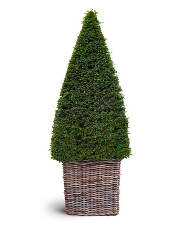 thuja: thuja plant in wickerwork basket isolated on white background