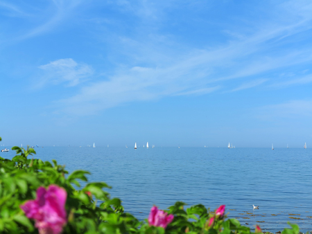 baltic sea with blooming rose in the foreground an sail boats in the background
