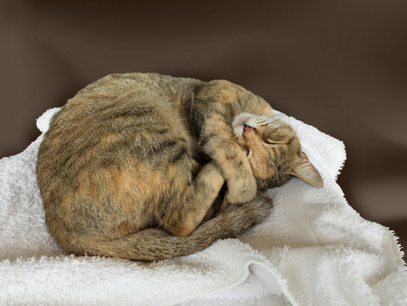 relaxed curled up cat sleeping on white towel Stock fotó