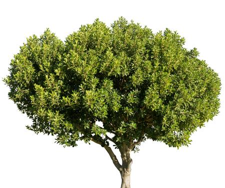 Ceratonia siliqua carob locust tree isolated on white background