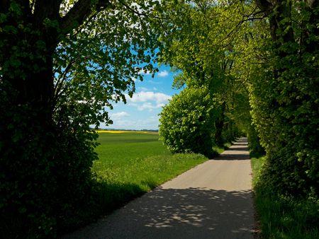 rural lime tree avenue with a view to the fields and blooming canola