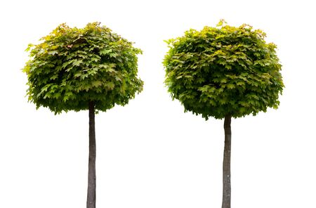 two decorative fresh acer trees isolated on white background