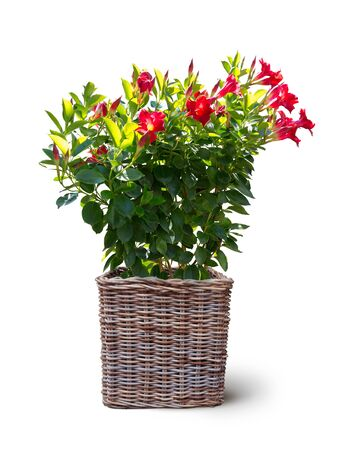 blooming mandevilla sanderi plant potted in basket isolated on white background Stock fotó