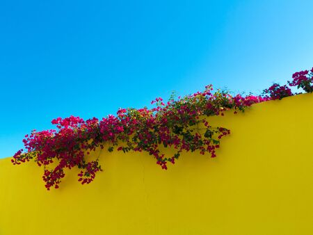 mediterranean color contrast with blooming purple bougainvillea on top of a yellow wall and cler blue sky in the background Stock fotó