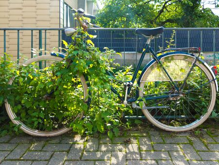 forgotten run-dwon rusty old bicycle, locked to a fence and overgrown by wild wine plant