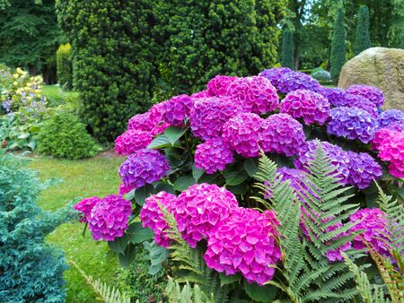 violet, pink, and purple blooming hortensia in a beautiful garden