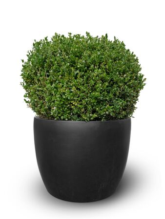 box boxwood plant potted in dark grey terracotta tub isolated on white background