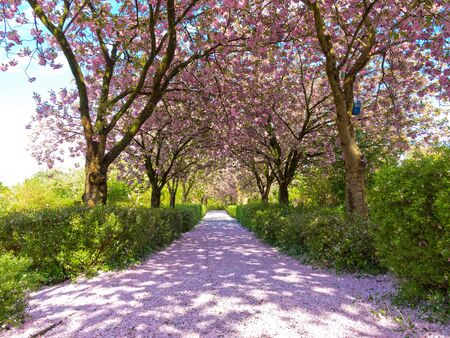 The path through an avenue of flowering cherry trees is completely covered with cherry petals like a carpet
