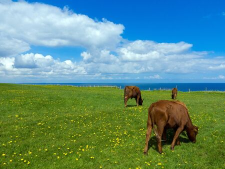 cows grazing on a pasture with blooming dandelion in a beautiful seaside landscape