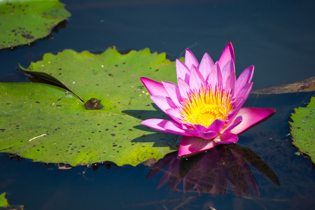 nymphaea: pink water lily Nymphaea Masaniello among green leaves
