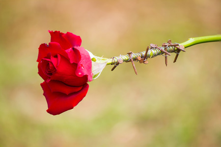 golgotha: thorns wrapping stalk of red rose. Stock Photo