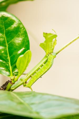 Green worm on lemon leaves. eat leaves