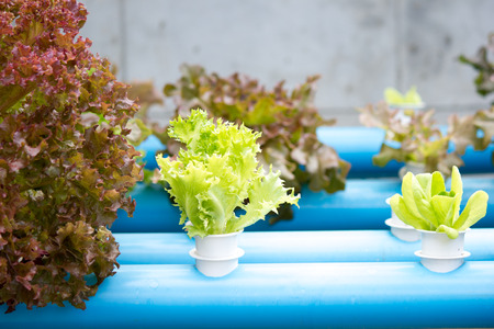 Hydroponics vegetable farming in Thailand