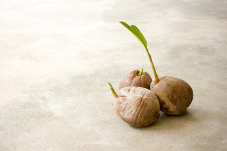 Seedlings of coconut growing. The concept are starting of business.