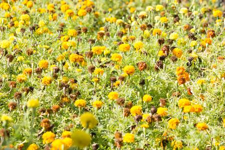 Pot marigold (Calendula officinalis) in the garden vintage