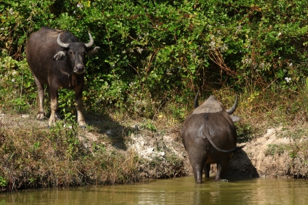 buffalo grass: Buffalos are fed along the valley and the countryside in Thailand