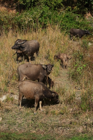 Buffalos are fed along the valley and the countryside in Thailand photo