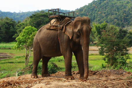 Elephants are fed to the use of villagers in Thailand photo