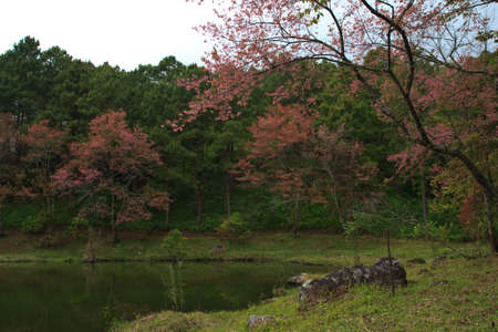 Sakura Thailand photo