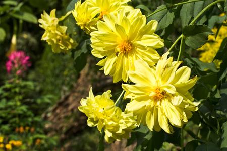 bridger: yellow flower on the mountain Stock Photo