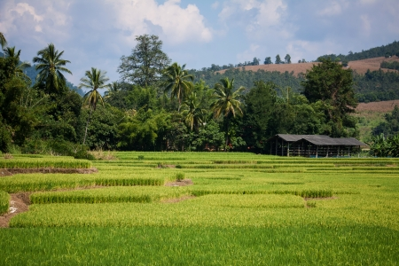 approaches: Golden rice harvest season approaches Stock Photo