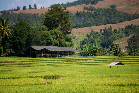 Golden rice harvest season approaches photo