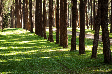 Pine plantations photo