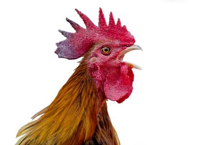 gallo: Cabeza gallos en Luxemburgo y Becket