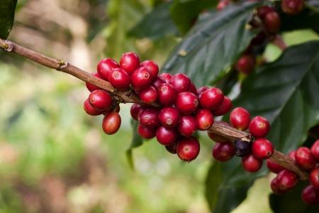 granos de café en las plantas en el jardín cerca de la cosecha