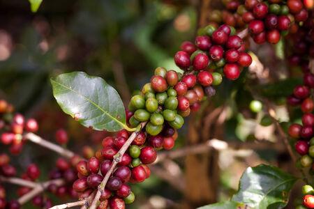 planta de cafe: granos de café en las plantas en el jardín cerca de la cosecha
