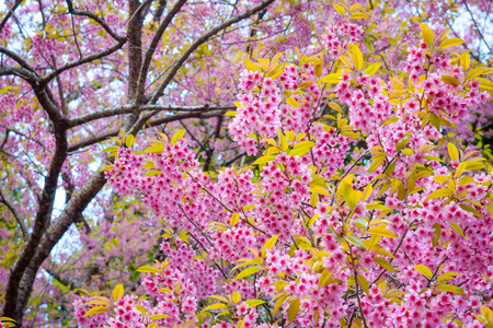 Sakura found along the northern Thailand city of Thailand, such as Chiang Mai  photo