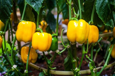 Bell pepper, beautiful colors and also on the original.