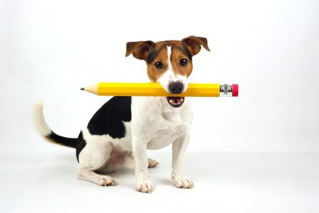 boligrafos: perro sentado sobre un fondo blanco, con un lápiz de color amarillo Foto de archivo