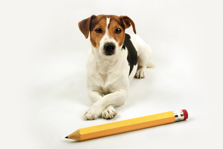 undergrad: dog lying on a white background in front of her big pencil