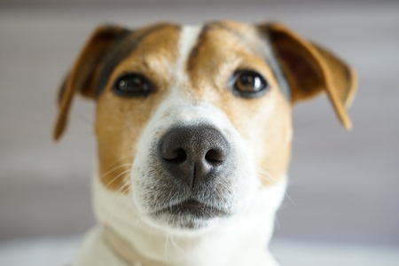 Close up portrait of jack russell with funny expression on his muzzle, focus on the nose, shallow depth of field