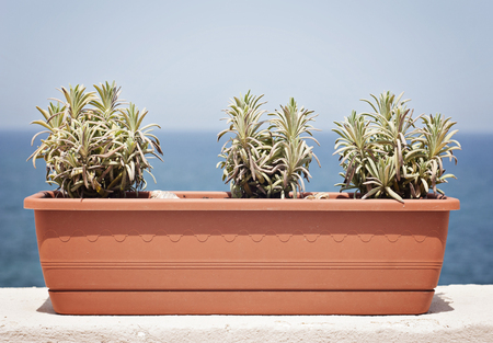 Three young lavender plants in a large box on the balcony on the blue sea background
