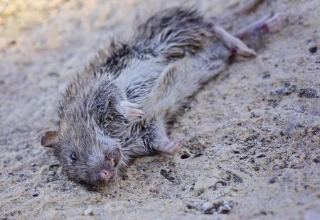 Fait de rongeur, identification. Le contrôle de rongeurs de rat est le concept d'hygiène, d'inspection et d'exclusion, la mise au point sélective, se bouchent Banque d'images - 91536648