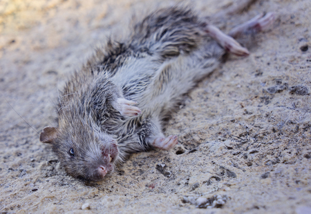 Rodent Fact, Identification. Rat Rodent Control is Sanitation, Inspection and Exclusion concept, selective focus, close up