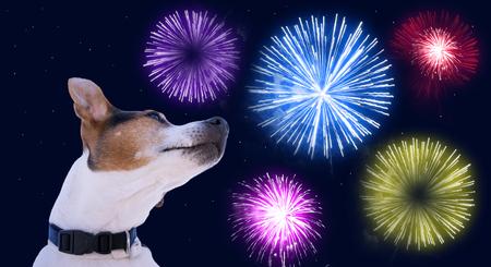 色付きの花火で空に対する犬の銃口ジャックラッセルテリア。花火コンセプト時のペットの安全