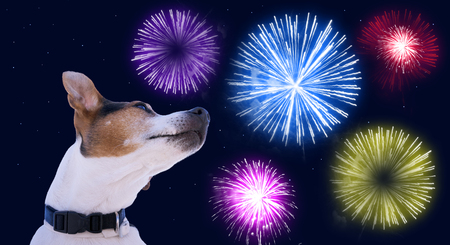 Chien museau jack russell terrier contre le ciel avec feux d'artifice colorés. Sécurité des animaux domestiques pendant le concept de feux d'artifice