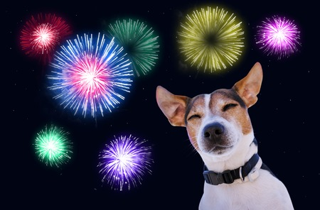 Dog muzzle closed eyes jack russell terrier against the sky with fireworks. Safety of pets during fireworks concept