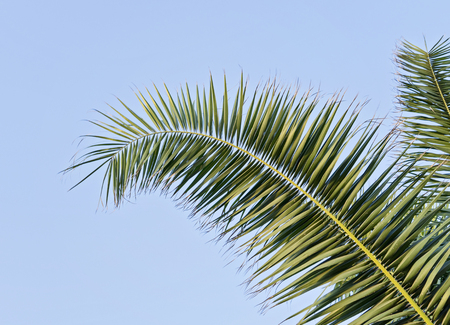Palm leaf against blue sky with copy space Holy Week Easter concept Long weekend spring break Standard-Bild