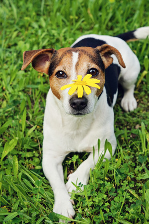 Cute Jack russell terrier Dog in green grass background with yellow flower on muzzle looking at camera. No hay and allergy, health care, selective focus Stock Photo