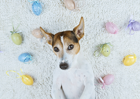Adorable jack russell dog lying back on white rug with Easter painted eggs looking at camera Pet take selfie and Happy Easter eggs Hunt concept, top view Stock Photo
